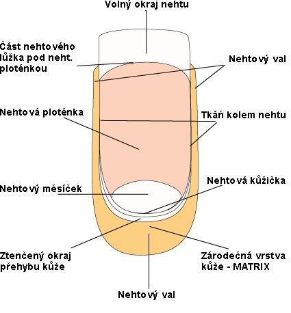 Anatomie nehtu